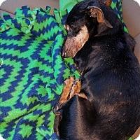 Adopt A Pet :: Sam Elliott - Decatur, GA
