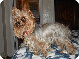 Yorkie, Yorkshire Terrier Dog for adoption in haslet, Texas - chiquita