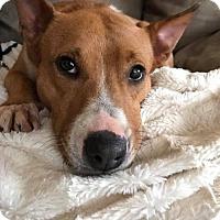 Adopt A Pet :: Foxy (foster) - Media, PA