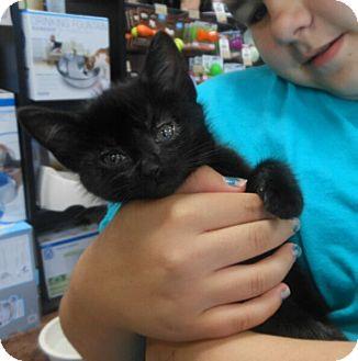 Domestic Shorthair Kitten for adoption in Reston, Virginia - KitCat