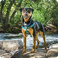 Adopt A Pet :: Casper- Cat & Dog Friendly - Boulder, CO