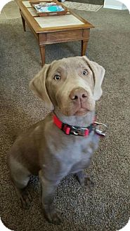 Labrador Retriever Dog for adoption in Denton, Texas - Caspian