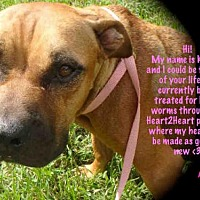 Pit Bull Terrier Mix Dog for adoption in Gainesville, Florida - KIBBLES