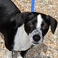 Adopt A Pet :: Ace - Middlebury, CT