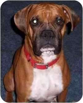 Boxer Dog for adoption in Tallahassee, Florida - Davis
