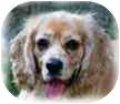 Cocker Spaniel Dog for adoption in San Diego, California - Charlie #4