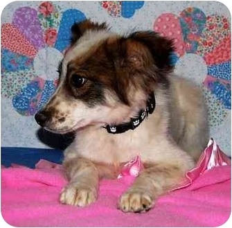 Australian Shepherd/Shepherd (Unknown Type) Mix Puppy for adoption in Broomfield, Colorado - Dixie