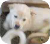 Labrador Retriever/Shepherd (Unknown Type) Mix Puppy for adoption in Phoenix, Arizona - Guidos