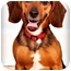 Photo 1 - Beagle/Dachshund Mix Puppy for adoption in Owensboro, Kentucky - Dr. Wilson