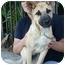 Photo 4 - German Shepherd Dog Mix Puppy for adoption in Los Angeles, California - Sassy von Schmidt