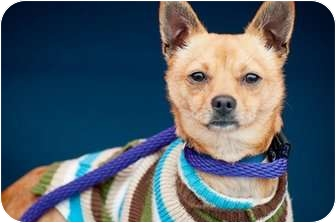 Fox Terrier (Toy)/Chihuahua Mix Puppy for adoption in Poway, California - Woody
