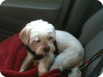 Lhasa Apso Mix Dog for adoption in Rancho Mirage, California - Charlie