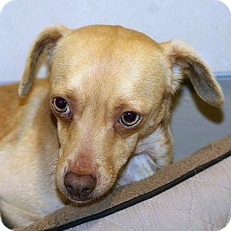 Chihuahua Mix Dog for adoption in Berkeley, California - Crispin