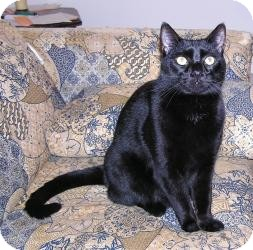 Domestic Shorthair Cat for adoption in Raritan, New Jersey - Alley