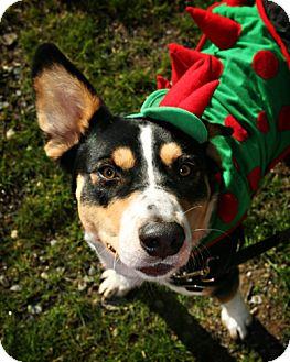 Bernese Mountain Dog Mix Dog for adoption in Bellingham, Washington - Cash
