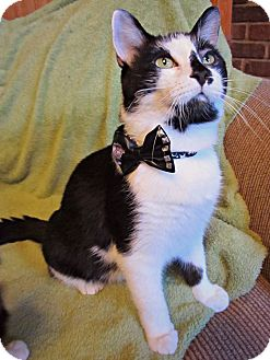 American Shorthair Cat for adoption in Raleigh, North Carolina - Rembrand