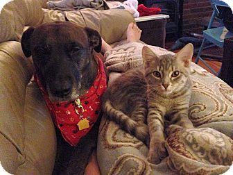 Domestic Shorthair Kitten for adoption in Columbus, Ohio - Gully the Grey - kitten