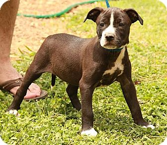 American Staffordshire Terrier/Terrier (Unknown Type, Medium) Mix Puppy for adoption in Washington, D.C. - Chelsea (CD)