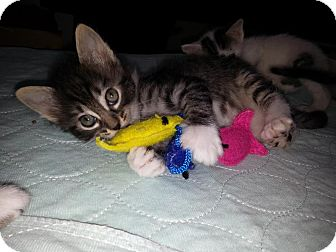 Maine Coon Kitten for adoption in Dallas, Texas - Betsy Ross