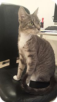 Domestic Shorthair Cat for adoption in Rockford, Illinois - Jennie