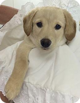 Golden Retriever/Labrador Retriever Mix Puppy for adoption in BIRMINGHAM, Alabama - Buffy