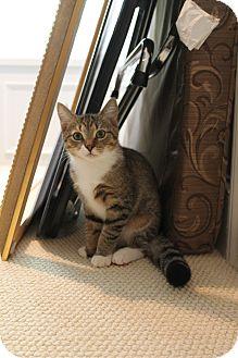 Domestic Shorthair Kitten for adoption in Monroe, North Carolina - Adorable Sawyer