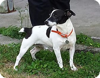 Jack Russell Terrier Dog for adoption in Terra Ceia, Florida - GEORGIE-such a great dog!