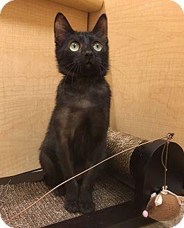 Bombay Cat for adoption in Houston, Texas - Josephine
