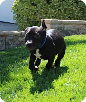 Pit Bull Terrier Mix Puppy for adoption in Las Vegas, Nevada - Skippy Jon