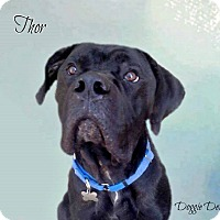 Adopt A Pet :: THOR(Adoption Pending ) - Upper Sandusky, OH