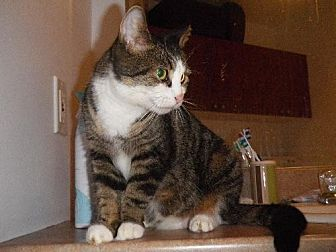 Domestic Shorthair Cat for adoption in Montreal, Quebec - Ashley