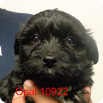 Shih Tzu/Poodle (Toy or Tea Cup) Mix Puppy for adoption in Greencastle, North Carolina - Opal