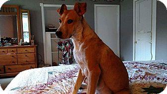 Mountain Cur/Hound (Unknown Type) Mix Dog for adoption in Charlestown, Rhode Island - Ginger