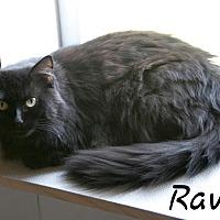 Adopt A Pet :: Raven - Waynesville, NC