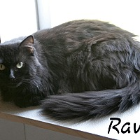 Domestic Longhair Cat for adoption in Waynesville, North Carolina - Raven