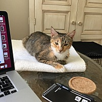 Calico Cat for adoption in Fort Myers, Florida - Heidi
