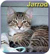 Domestic Shorthair Kitten for adoption in Aldie, Virginia - Jarrod