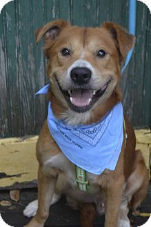 Chow Chow Mix Dog for adoption in Germantown, Tennessee - Bernie
