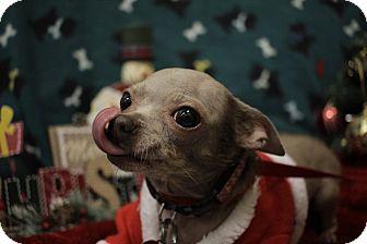 Chihuahua Mix Dog for adoption in Hamilton, Ontario - Wren