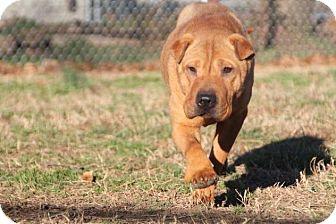 Shar Pei Dog for adoption in Houston, Texas - Sweet Pea