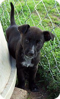 Blue Heeler/Border Collie Mix Puppy for adoption in Waller, Texas - Jaxson