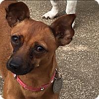 Adopt A Pet :: Lulu - Salem, NH