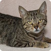 Adopt A Pet :: Blair - Elmwood Park, NJ