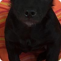 Adopt A Pet :: Ginny - Las Vegas, NV