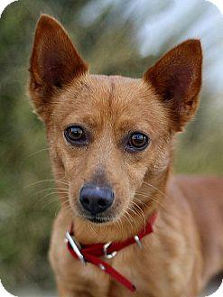 Chihuahua/Welsh Corgi Mix Dog for adoption in Berkeley, California - Davie