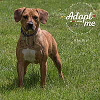 Adopt A Pet :: Shelby - New Milford, CT