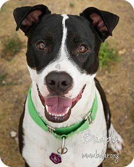 Pit Bull Terrier/Border Collie Mix Dog for adoption in Cheyenne, Wyoming - Buddy
