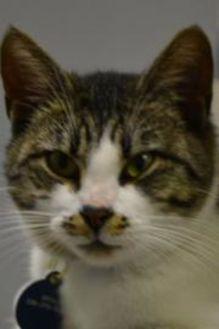 Domestic Shorthair/Domestic Shorthair Mix Cat for adoption in Greensboro, North Carolina - Nina