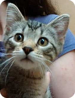 Domestic Shorthair Kitten for adoption in Rochester, Minnesota - Wilkie Collins