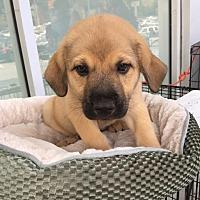 Adopt A Pet :: Osso - Monticello, GA
